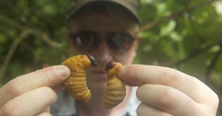 'Bugs': Dansk dokumentarfilm om insekter som det nye gourmetmad