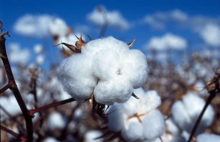 CSIRO_ScienceImage_3251_Cotton_boll