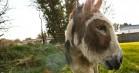 'Do Donkeys Act?' på CPH:DOX: Æselfilm a la Jørgen Leth eller Werner Herzog