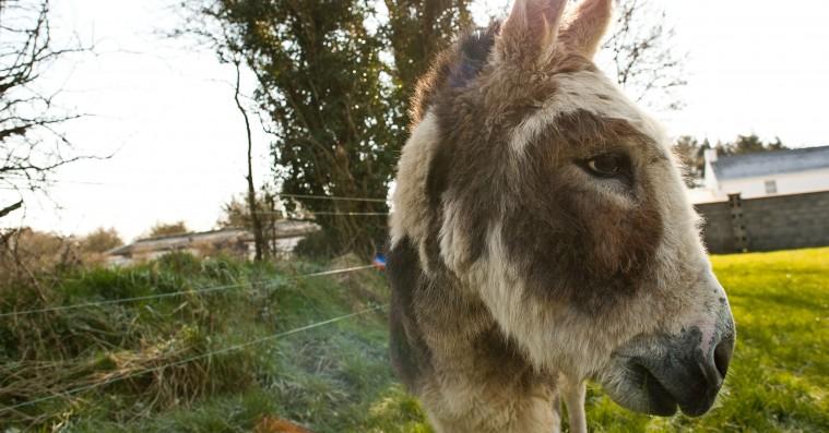 'Do Donkeys Act?': Æselfilm a la Jørgen Leth eller Werner Herzog